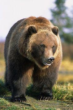 Brown Bear - by Doug Lindstrand