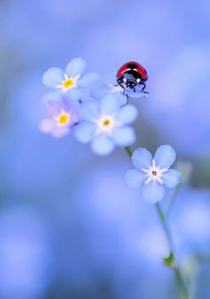 Ladybug and forget-me-not http://aberrantbeauty.tumblr.com/post/45609051778