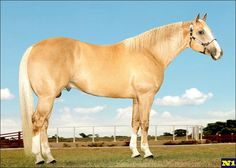 Quarter Horse - stallion Nashville Fred RRV