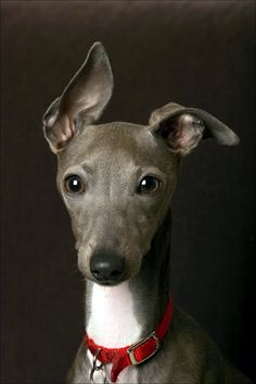 Aw.. cute little Italian Greyhound