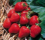 A clear guide on how to grow strawberries in window boxes for the perfect strawberry windowsill garden.
