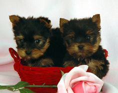 teacup yorkie puppies for sale in pa | Zoe Fans Blog