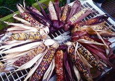 Indian corn wreath tutorial.... This is a very informative tutorial which is easy to follow... with beautiful results.  Great for a  Thanksgiving decoration.