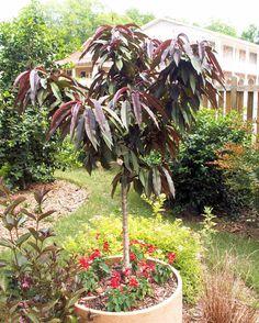 Bonfire peach awesome little ornamental peach tree for Peach tree designs