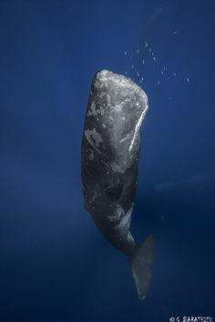 Sperm Whale. An amazing, beautiful creature. I am reading Moby Dick now and am feeling pretty ill about whaling (though the book is great). I love you, oh, noble whale!