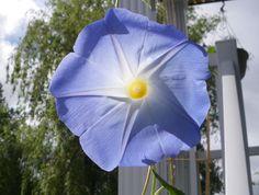 Gloire du matin d'un bleu céleste