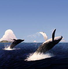balene - arrivano intorno a dicembre e si dirigono verso nord in Alaska. Ripartono, poi, a maggio. Le visite, insomma, vanno organizzate in quel periodo. Maui, Kauai e Big Island, sono i siti più noti per l'avvistamento delle balene. Si trovano nelle acque di Oahu, ma il loro numero non è poi tanto alto. In ogni caso per osservarle, bisogna capire che non ci si può avvicinare troppo. Chi le osserva si deve mantenere almeno a 100 metri di distanza  e, ovviamente, questi giganti del mare vanno…