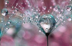 Une très belle réalisation de la photographe britannique Sharon Johnstone, qui shoote la rosée matinale sur de nombreuses fleurs.