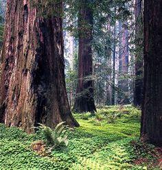 ...hugging a Redwood tree...