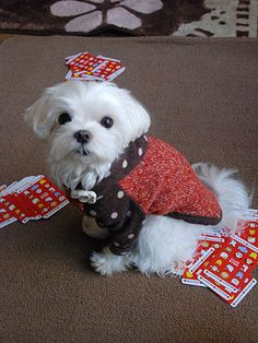 今年最後のずんずんカレンダーは…サンタクローずん♪ の画像|マルチーズ ブログ あまずのズンズン日記