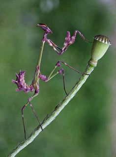This is such a pretty little creature... Purple Praying Mantis