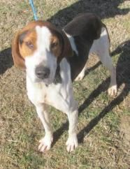 Louie - Coonhound