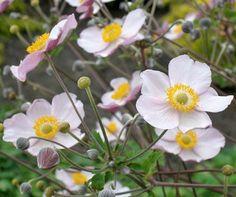 Herbst-Anemonen: Edler Blütenschmuck - Mein schöner Garten - mit guten Pflanztipps
