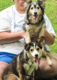 Bonnie & Clyde (Bonded Pair) - Shetland Sheepdog Sheltie