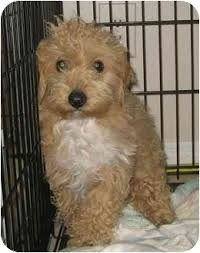 Image result for tibetan terrie… Taco Terrier/ Taylor's
