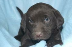 Black Cockapoo, Labradoodle Puppies For Sale, Retriever Puppy, Dogs, Animals, Google Search, Baby, Animales, Animaux