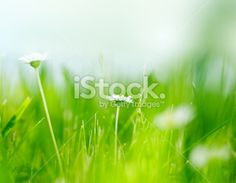 Daisies in the field Royalty Free Stock Photo
