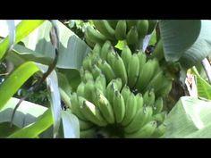 വഴയ്ക്ക് വളം നൽകുമ്പോൾ ശ്രദ്ധിക്കേണ്ട കാര്യങ്ങൾ Tips for Banana Cultivation