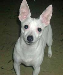 Mini Fox Terrier White