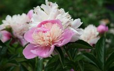 Tips for Successfully Growing Peonies - grow gorgeous peonies this year.