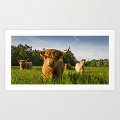 Highland Cattle Art Print by Simon's Photography - $17.68