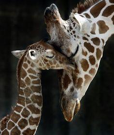40 Photos Of BabyGiraffes