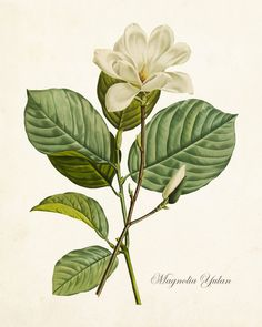MAGNOLIA YULAN ANTIQUE BOTANICAL GICLEE CANVAS ART PRINT This antique botanical illustration has been been digitally enhanced and restored to bring out the depth of color and detail.The image has been