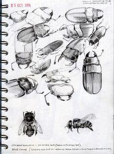 Beetle studies. Sketchbook.