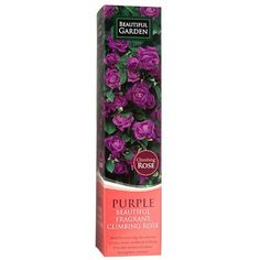Climbing Rose - Purple