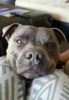 Male blue english staffy