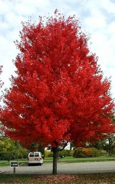 autumn blaze maple, 50 x 40.  One of my favorites. Rich green leaves with excellent orange-red fall color, ascending branch structure with a central leader, rapid growth, may be more drought tolerant than other Maples.