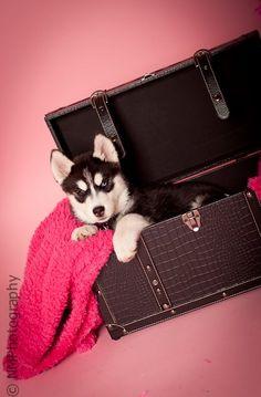 Nikita-Siberian Husky Puppy