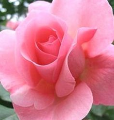 """Queen of England"" rose- what a beauty!"