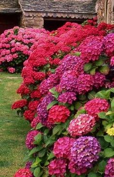 Hydrangeas -- Did you know changing aluminum in the soil changes the color of the hydrangea? Red Hydrangea, Hydrangea Color Change, Hydrangea Soil, Hydrangea Types, Strawberry Hydrangea, Purple Hydrangeas, Hydrangea Landscaping, Lawn And Garden, Front Yard Garden Design