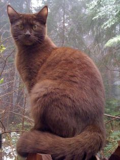 Chocolate cats are uncommon, because the gene that is associated with their lush mahogany coats is seen only in a small, select gene pool. All chocolate cats are descended directly from a single individual, a Havana Brown cat. The Havana Brown breed was created by crossing a black, blue, and color-point cats.: