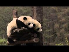 Cute panda babies napping at the Wolong Reserve, China. See them on our live cam: www.explore.org.