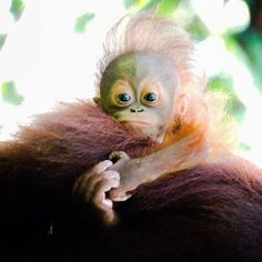Bad hair day? Traveller @lauren_louise87 met a baby orangutan rocking a pretty wild style while on tour in Malaysia. #gadv #regram Hotels-live.com via https://instagram.com/p/6kImH8CqmO/