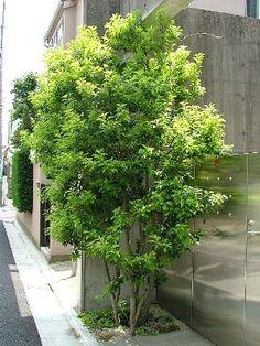 ソヨゴの育て方 (自然と暮らす) Japanese Streets, Green Garden, Garden Styles, Trees To Plant, Exterior, Landscape, Plants, Outdoor, Design