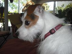 """Jackie Kennedy Onassis is a five-six year old Jack Russell Terrier weighing about 12 pounds, with a big black """"O"""" on her back (hence her name). A fun girl, she is a true lap dog – she loves nothing better than to curl up in your lap and cuddle. She likes to go for walks, plays well with most other dogs, and was very well cared for her in her former life. We don't know how she ended up at the shelter, but she is looking for her fur-ever home to love..   She is spayed and microchipped."""