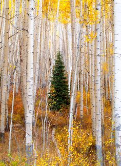~~Little Tree ~ little evergreen surrounded by tall aspens in the White River National Forest, Gypsum, Colorado by Tim Reaves~~