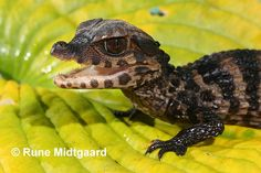 Smooth-fronted Caiman(Paleosuchus palpebrosus)   Few weeks old baby, October 2005