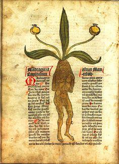 medieval manuscript about mandrake root | Alraunenmännchen aus dem 1485 gedruckten Kräuterbuch Gart der Gesundheit (Quelle: Wikimedia)