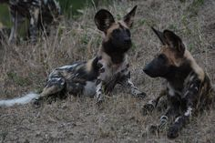 A pack of Wild dogs has been in the area for a week