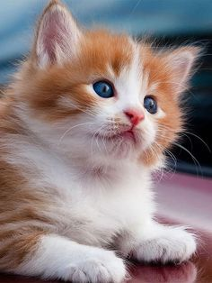 Kittens And Puppies, Cute Cats And Kittens, Cool Cats, Kittens Cutest, Ragdoll Kittens, Funny Kittens, Bengal Cats, White Kittens, Black Cats