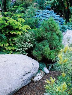 Dwarf conifers are an ideal addition to any rock garden. For a cohesive look, vary foliage textures but stick to a unified color theme, such as silvery blue. Create a whole garden with conifers, tucking them between rocks, or pair the focal-point evergreens with colorful blooms for contrast. If youre mixing plants, be sure to plant the conifers beside or behind other low-growers to maintain visual balance as the conifers grow.