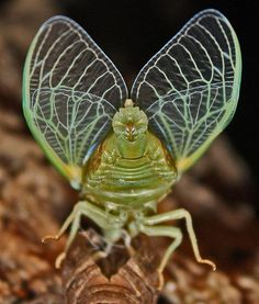 Cicada's wings have the coolest defence mechanism—their wings are covered by pillar-like protrusions that shred bacteria to pieces. When a bacterium reaches the surface of the wing, it sticks to the surface of the pillars and its cellular membrane stretches until torn apart. The finding can be used to develop new antibacterial surfaces.