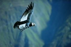 Andean Condor, and it's majestic flight. #ecuador #condor #nature #flight.