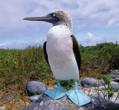 The splendidly named Blue-footed Booby - one of the many birds on the Galapagos islands Booby Bird, Blue Footed Booby, Galapagos Islands, Photo Blue, Travel Channel, Weird Creatures, Historical Sites, Beautiful Birds, Beautiful Creatures