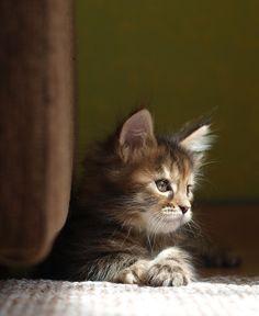Cute Cartoon Animals Sea their cute hilarious kittens by Cute Baby Kitt … – Adorable Kittens – Animals Kittens And Puppies, Cute Cats And Kittens, Baby Cats, Cool Cats, Kittens Cutest, Baby Animals, Animals Sea, Kittens Playing, Pretty Cats
