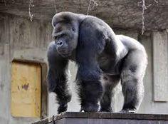 """Résultat de recherche d'images pour """"gorille"""""""